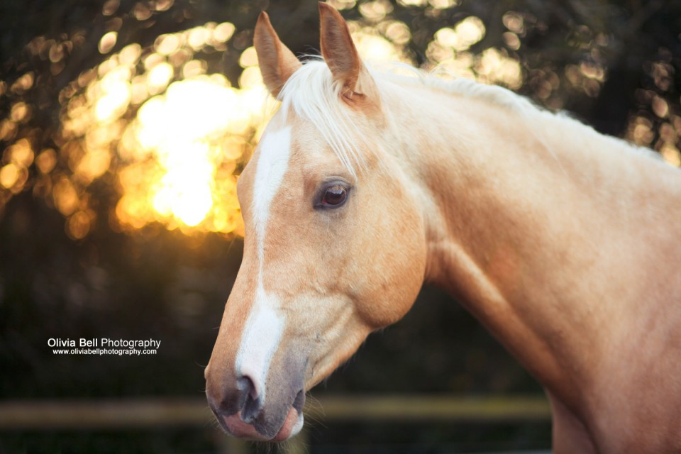 34small7 960x640 Horse Portraits for Krugerrand