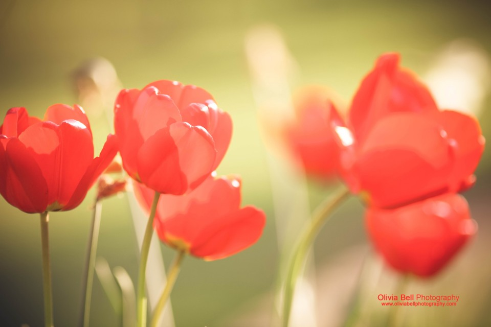 Tulips - Day 257/365